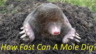 How fast can a mole dig?