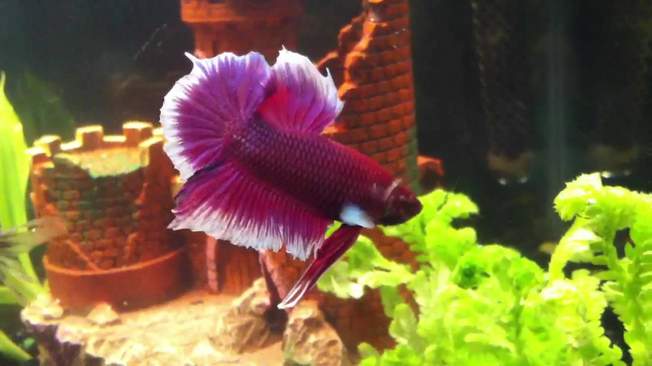 Full moon betta fish for sale images for Purple betta fish for sale