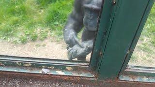 مقطع مؤثر - قرد في حديقة الحيوان يطلب من الزوار فتح باب القفص ويشرح لهم كيف يفتحوا الباب