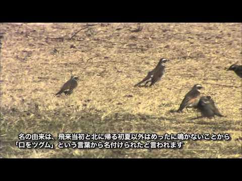 岐阜県の野鳥 02「ツグミ」