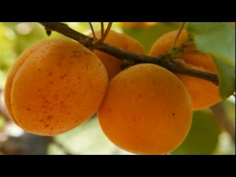 Fruiting Trees Plants Plant an Apricot Tree Fruit