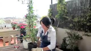 Enredaderas de jardín (jazmín y bugambilia)