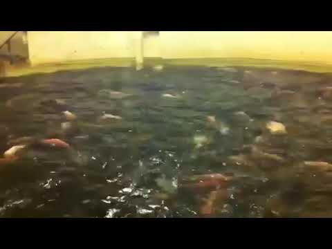 Tilapia Farm Visit 3000 Fish In This Tank Alone