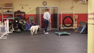 Training | Board and Train Mid-Session - Stella | Solid K9 Training Dog Training