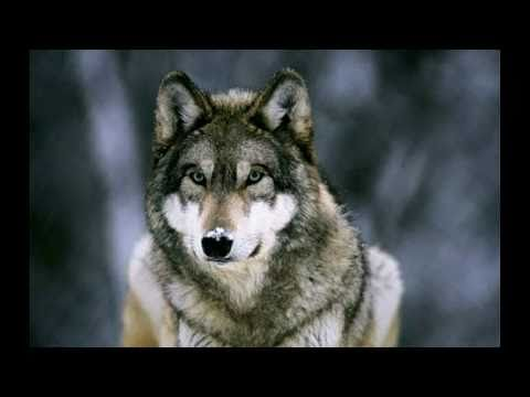 Wolves - Howling - In Nature video