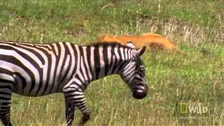 World's Deadliest   Lions vs  Zebra