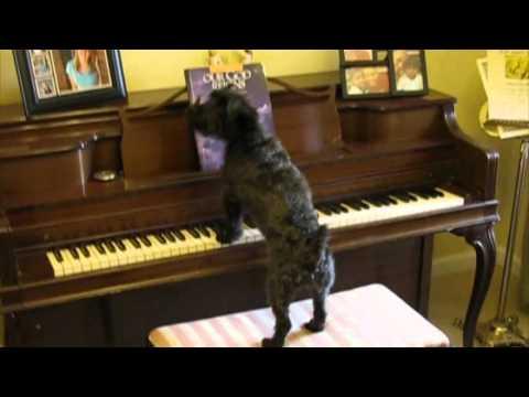 ピアノを弾くのが大好きな犬