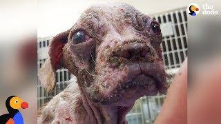 Sick Puppy Makes Incredible Comeback - LIBRE   The Dodo