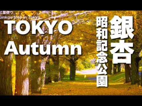 [HD]秋の昭和記念公園のイチョウの紅葉・ Ginkgo tree in Tokyo 紅葉便り
