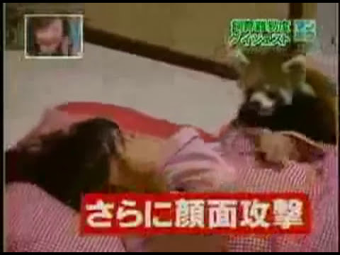 Red Pandas Are Jerks