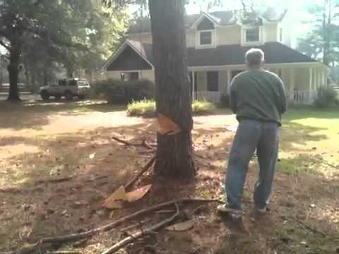 Leaning Tree Gets Cut Down By Chainsaw video