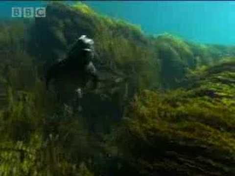 Marine iguanas of the Galapagos islands - BBC wildlife Video