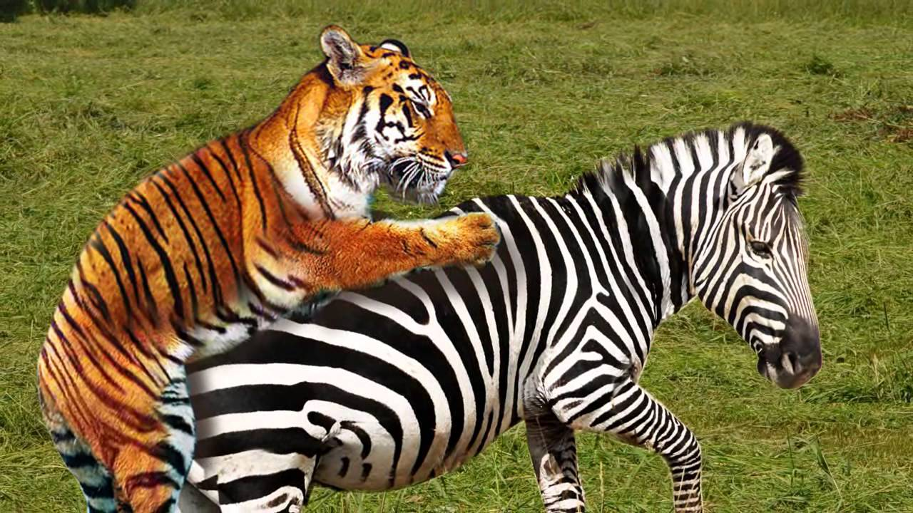 Tigers Eat Zebras Zebra Tiger Epic Fail hd
