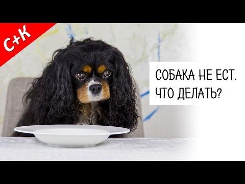 Что делать если собака не ест и не пьет несколько дней