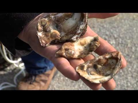 Cleaning the Chesapeake Bay: Oyster Restoration