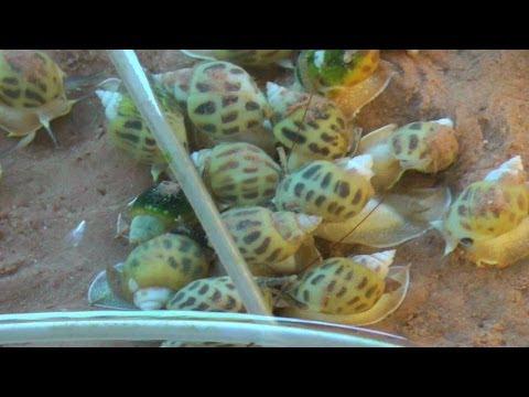 Cone Snail Shell Aquaculture Farm in Jomtien Beach | Pattaya Thailand