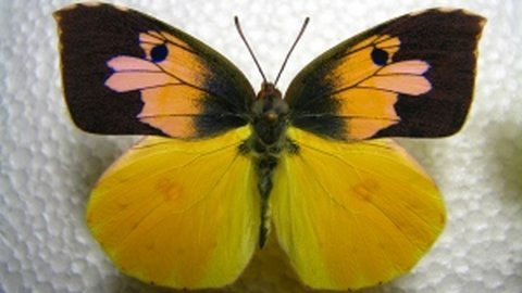 California's state insect- Dogface Butterfly Life Cycle Documentary 720p HD
