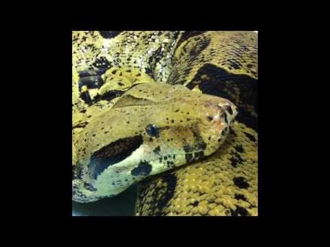 """James Askew presents """"Large red tail boa in for URTI."""""""