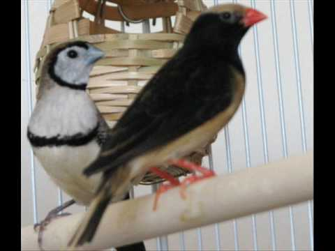 Singing Pet Bird - Straw-tailed Whydah... 'El Gran Caruso'