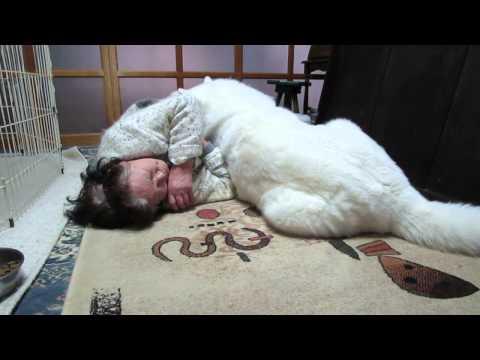 秋田犬お婆さんに甘えて横になる【akita dog】