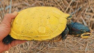 Bắt Được Rùa Vàng Quý Hiếm & Kỳ Lạ Ngoài Cánh Đồng . Catch Golden Turtle