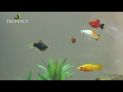 quels poissons choisir pour votre aquarium jardinerie truffaut tv ibowbow. Black Bedroom Furniture Sets. Home Design Ideas