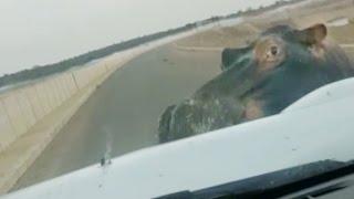 HIPPO ATTACKS & HITS CAR