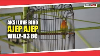 Aksi Love Bird AJEP AJEP milik Willy dari B3 BC