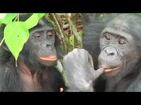 Bonobos Monkey Love True Bonobo Love