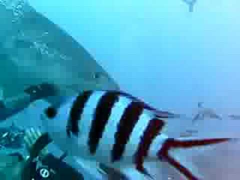 Joel & Suzie almost eaten by tiger shark