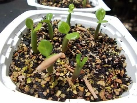 How to Plant Desert Rose Seeds