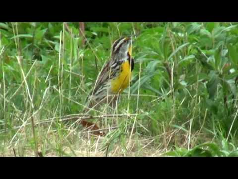 Eastern Meadowlark, singing and foraging, Frontier Park, Naperville