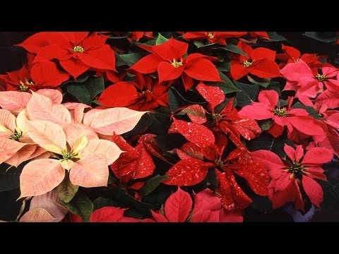 Colorful Holiday Plants From USDA