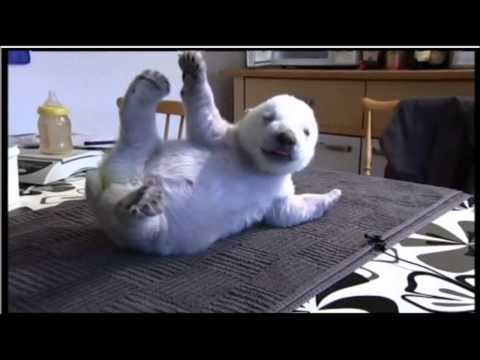 Siku, the adorable Danish polar bear