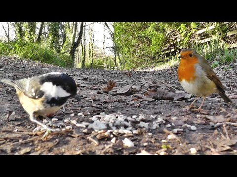 Birds - Nuthatch, Coal Tits, Great Tit & Robin Bird - Videos For People & Cats To Watch