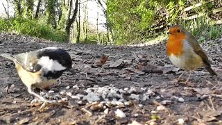 Videos For Cats To Watch Birds - Nuthatch, Coal Tits, Great Tit & Robin Bird
