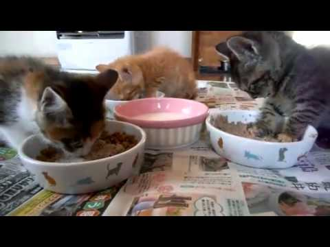 Kitten falls asleep while eating