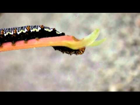 This is a macro video of an Eight spot Forester Caterpillar eating a leaf.  It was shot with a Canon