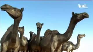 فحص كورونا على الأبل بالقوة الجبرية في السعودية