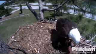 Southwest Florida Eagle Cam 5th April 2014 2.03 PM Ozzie with snack, E4 returns to the nest