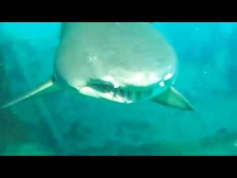 Tiger Sharks on our Olympus Dive Trip 7/26 & 7/27/14 part 12