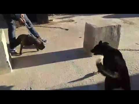 Crazy pitbull