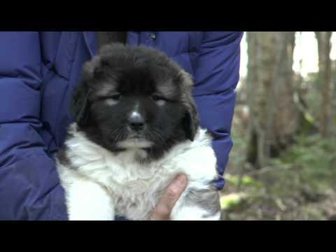 Kennel Little Freak's Finland: Kaukasiankoira / Caucasian ovcharka: Faces