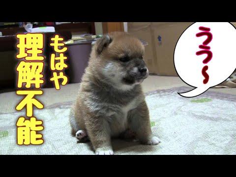 かわいすぎ☆柴子犬の謎リアクション