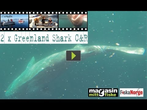 Scandinavian Big Game Fishing - 2 x Greenland Shark C&R (992+2165 lbs!)