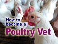 POULTRY FARMING & DISEASES, Chicken, Duck, Quail. Study At Poultry Ranch For Vet Students