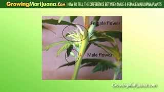How To Tell The Difference Between Male & Female Cannabis Plants