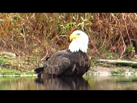 Canon SX50 vs SX40 Zoom Test - Bald Eagles