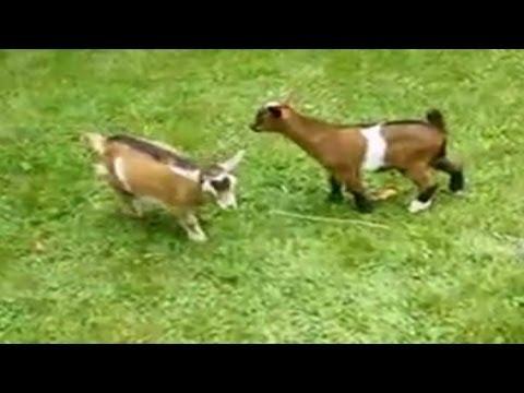Baby Goat Gif 0.jpg