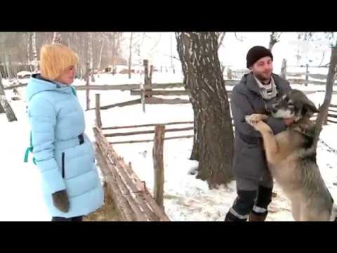 Домашние волки